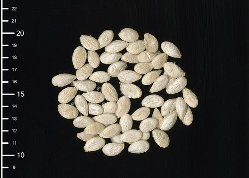 'Apache Giant' squash seeds