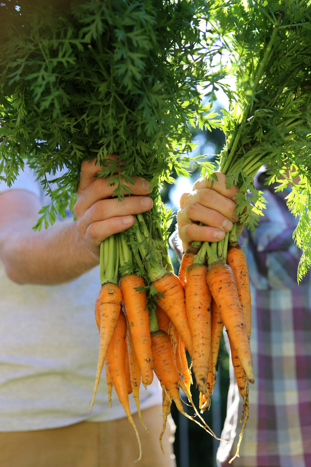 Carrots are hardy enough to withstand cooler temperatures, making them ideal to direct sow into your garden in early spring.