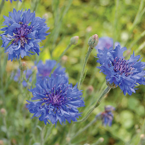 Blue Boy Bachelor' Buttons make a great addition to cut or dried flower arrangements.