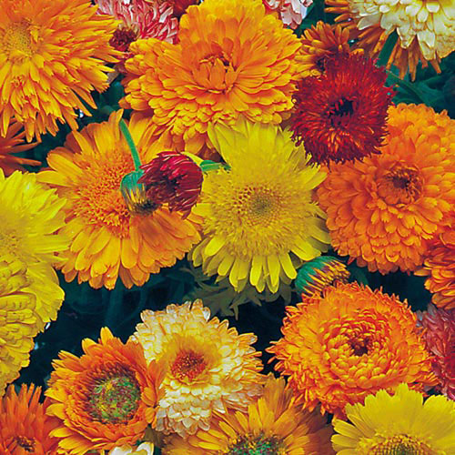 Fun fact: The colorful blossoms of the calendula flower are entirely edible.