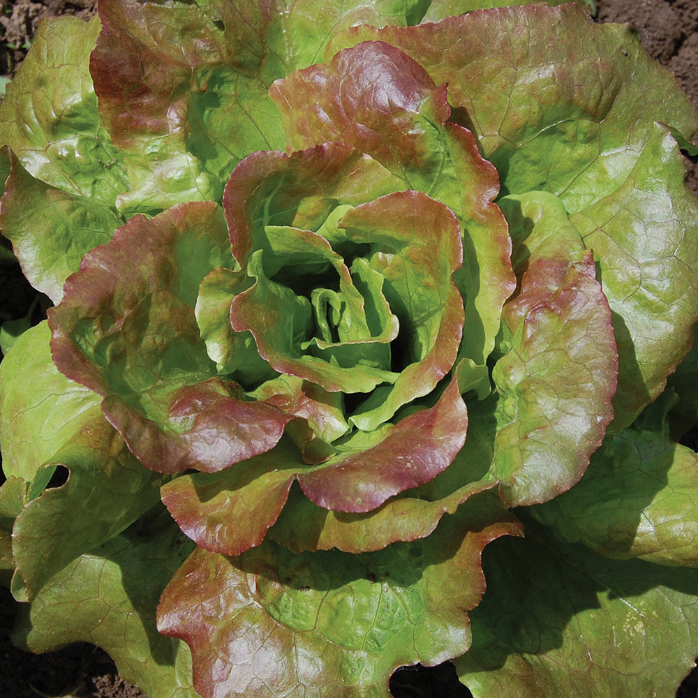 EMMA HADLEY's descendents entrusted the seeds of her heirloom lettuce to SEED SAVERS Exchange in 1988. today gardeners nationwide are growing the tasty butterhead variety in their backyards, further increasing the odds of  its survival.