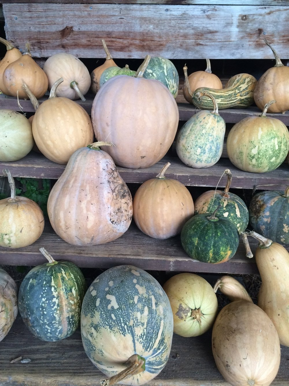 """This pumpkin is a true Southern heirloom,"" says Melissa DeSa of the 'Seminole' variety, found in abundance at Forage, the nonprofit she cofounded In Gainesville, Florida."