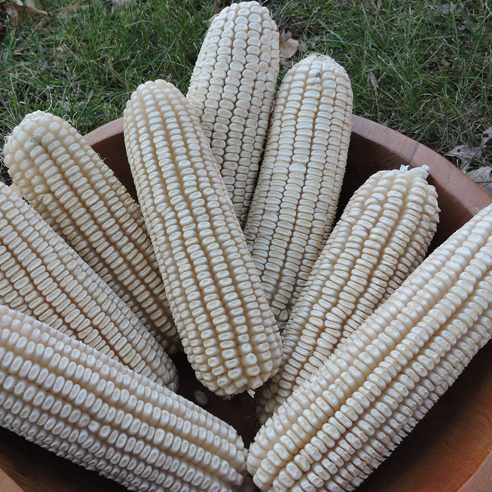 Historic 'Johnson County White' corn was one of five varieties Seed Savers Exchange donated to the Winnebago Tribe of Nebraska to support food security and sovereignty.