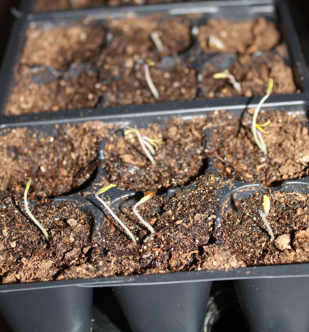 Given proper soil, adequate warmth, and enough water, the 'italian Heirloom' Seedlings emerged in force.