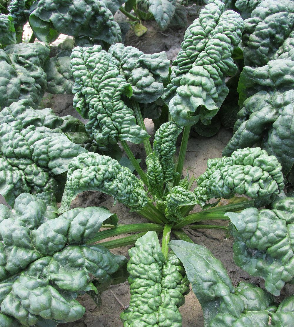 spinach_norfolk_CROP.jpg