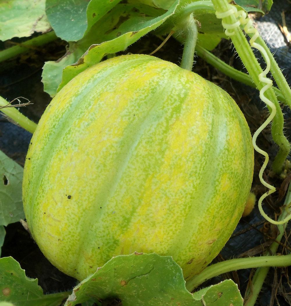 'Gropp Pie Melon,' grown at Seed Savers Exchange in Decorah.