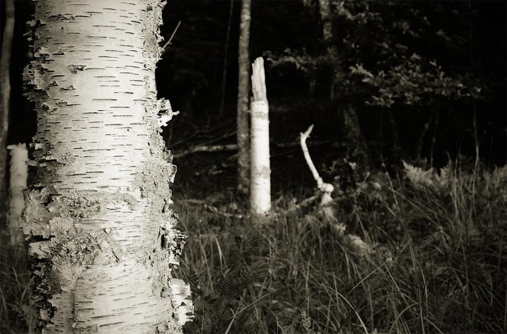 manistee-birch.jpg