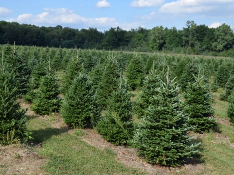 Whitehouse Christmas Tree Farm — Wheeler Farms