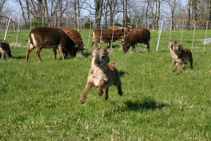 Lambs2008 014.jpg