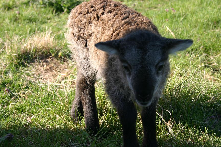 Lambs2008 017.jpg