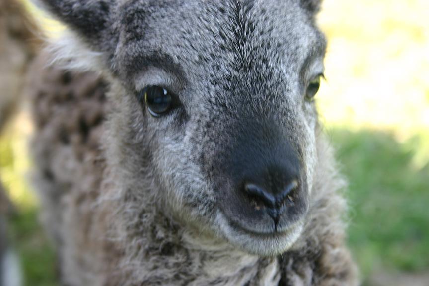 Lambs2008 019.jpg