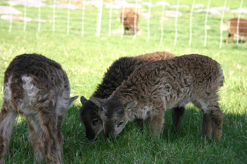 Lambs2008 022.jpg