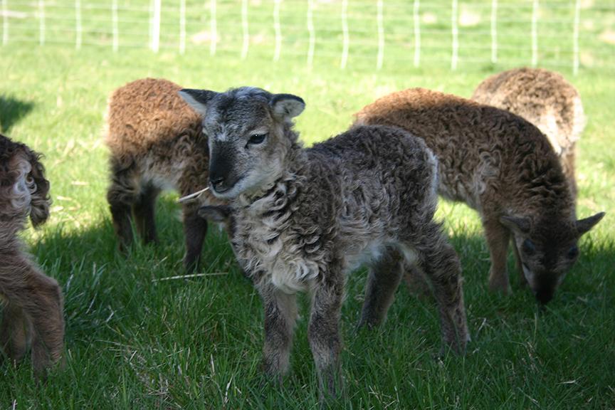 Lambs2008 027.jpg
