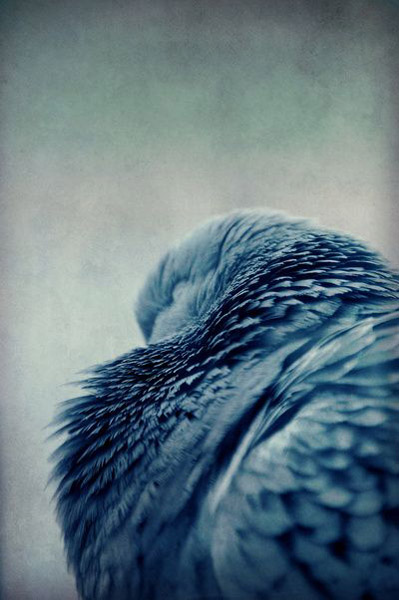 Society 6, inky blue bird feathers