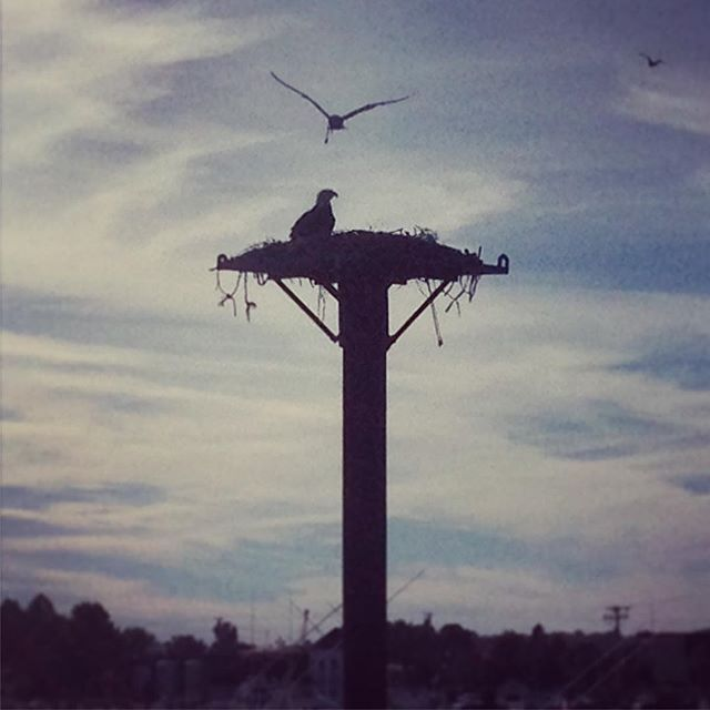 Bald eagle sitting on an osprey nest and being heckled by seagulls... #baldeagle #bird #maine #portlandmaine #cascobay #nature