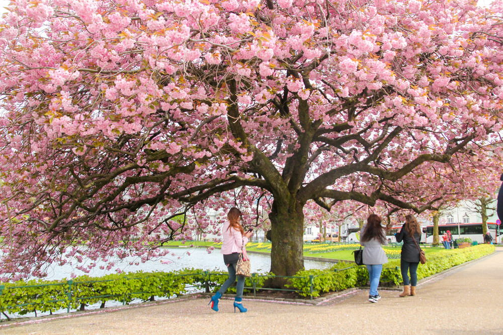 Cherry blossom by the lake in Bergen, our first port of call