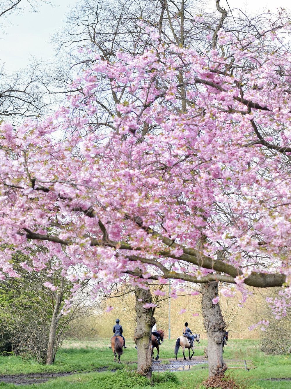 Katie-Collins-Cherry-Blossom-2.jpg