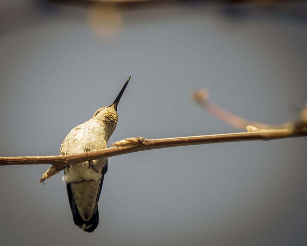 Anna's Hummingbird (Juvenile) 2015