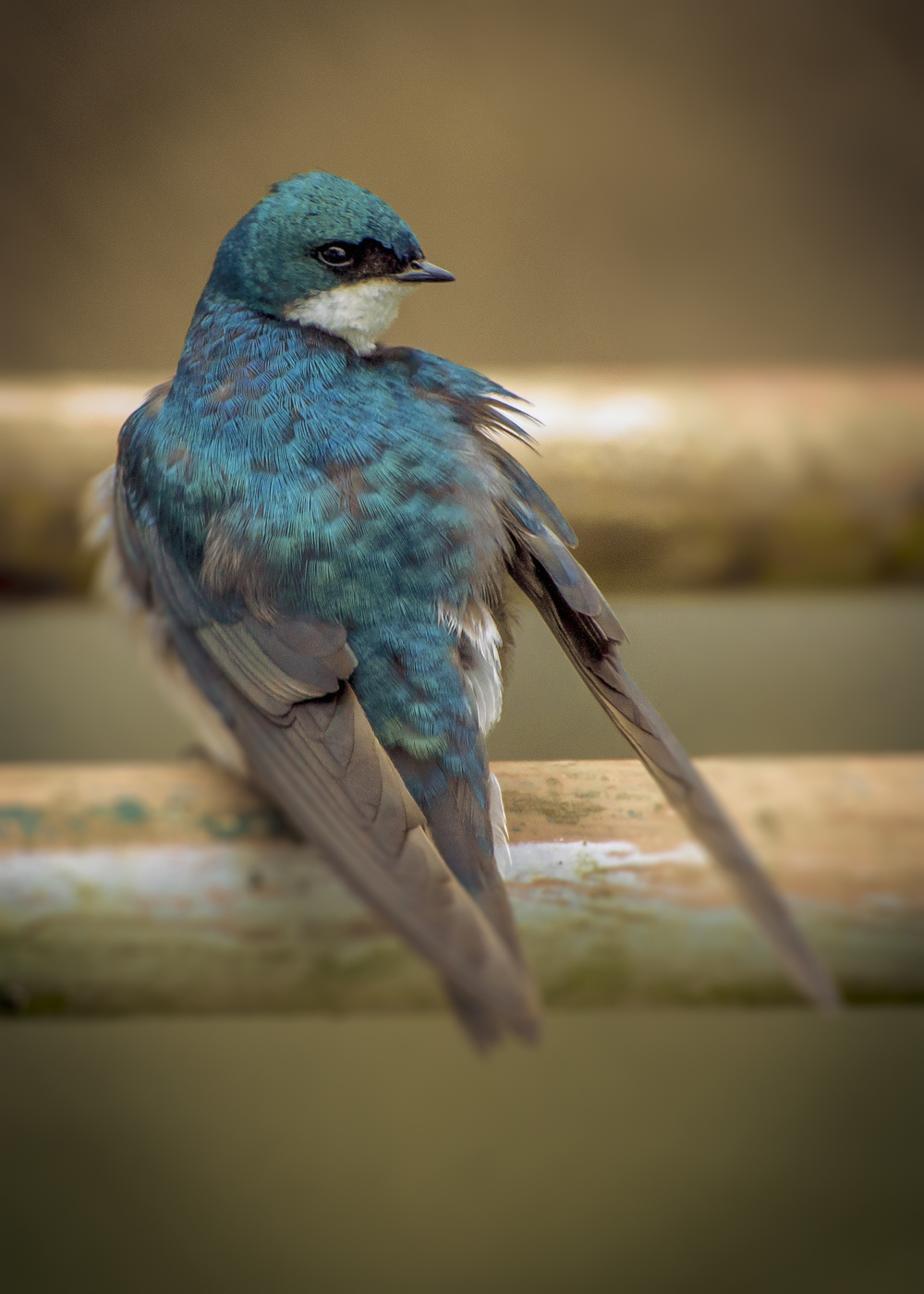 Tree Swallow (2015)