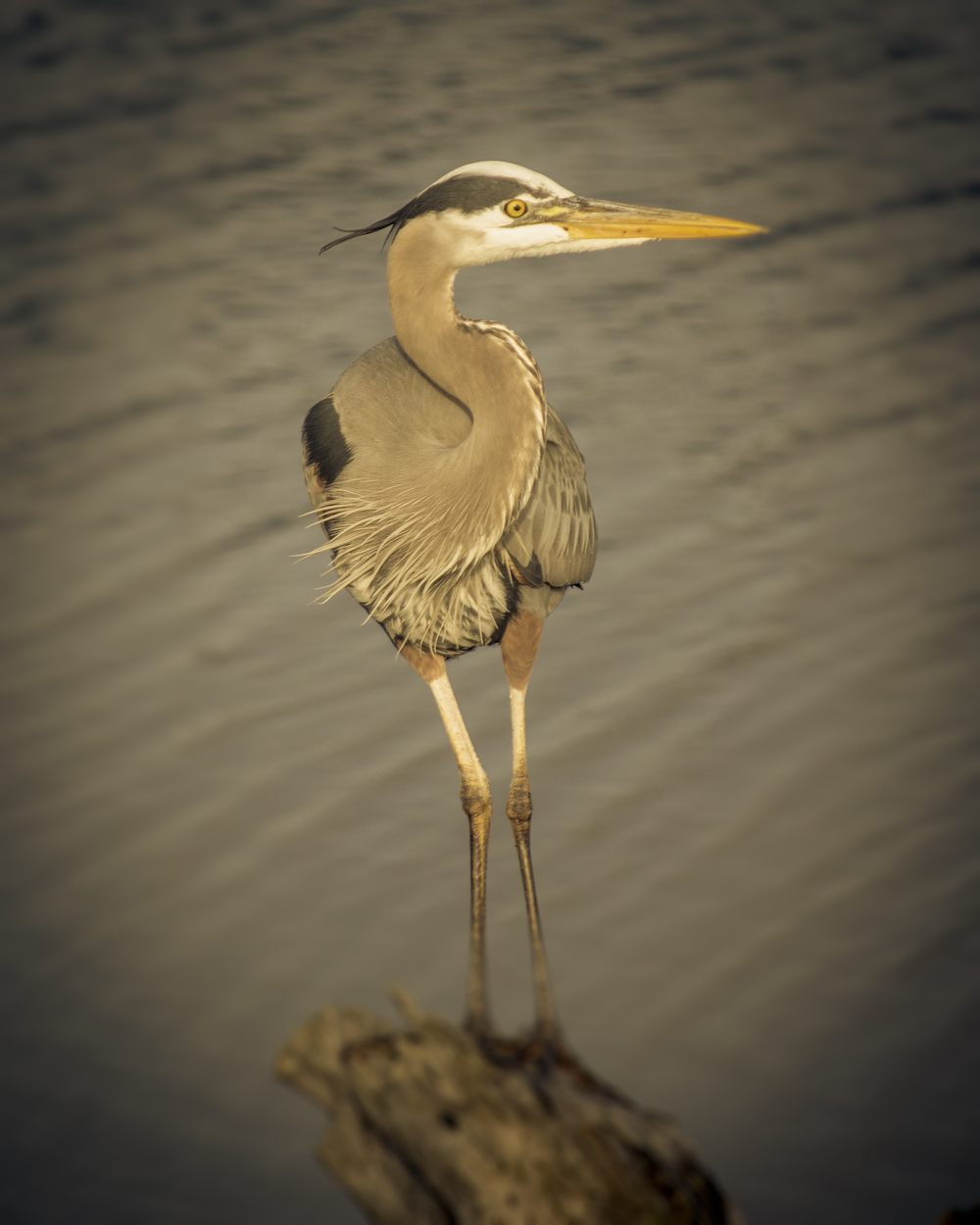 Great Blue Heron (2015)