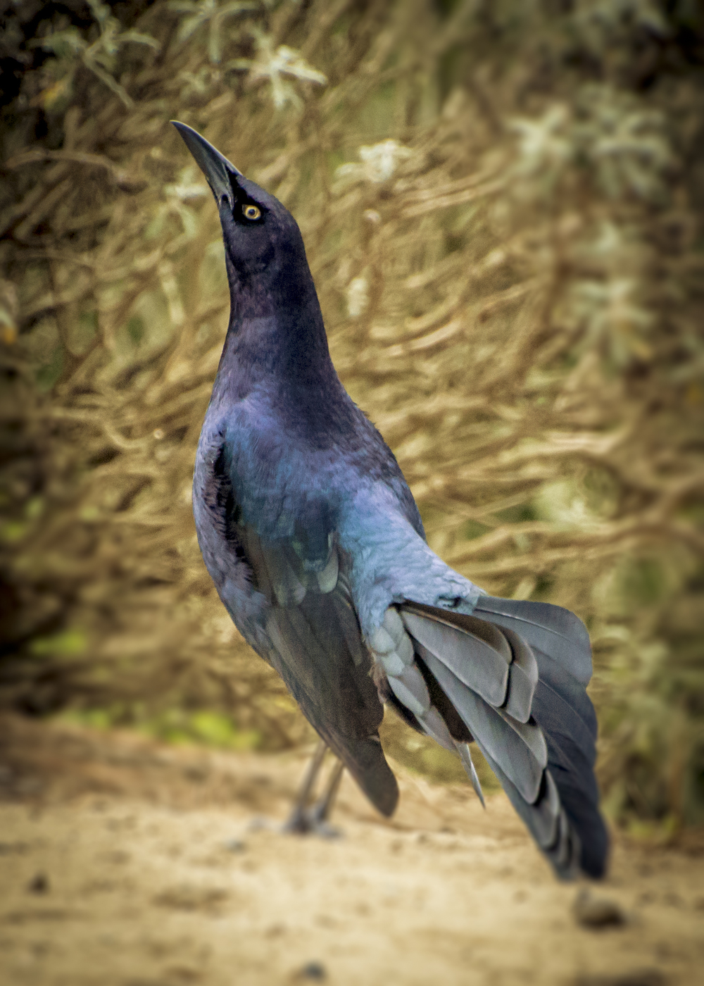 Great-tailed Grackle (2015)