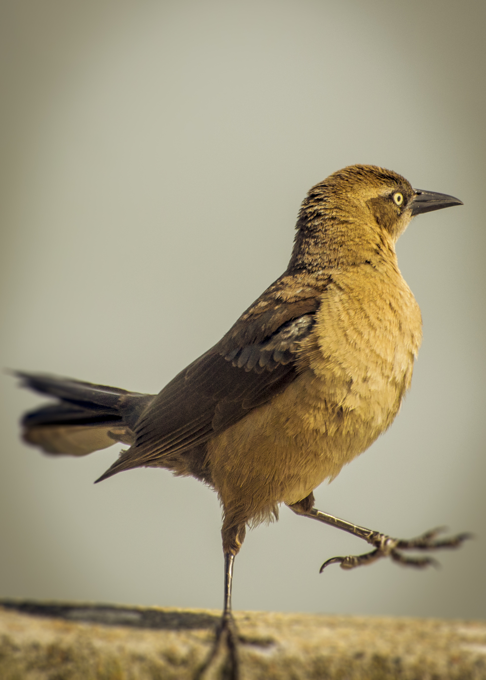 Great-tailed Grackle (female) 2015