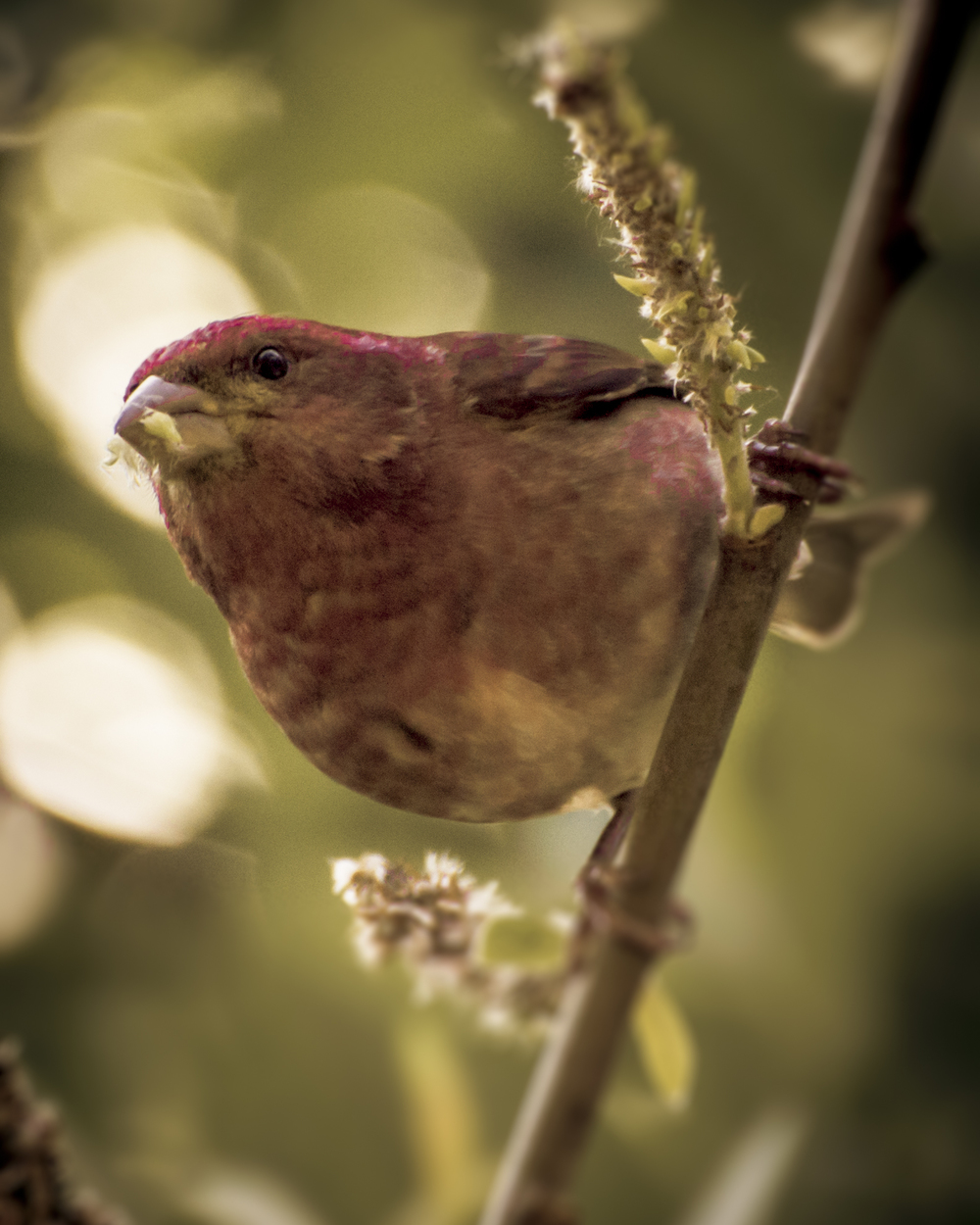 Purple Finch (2015)