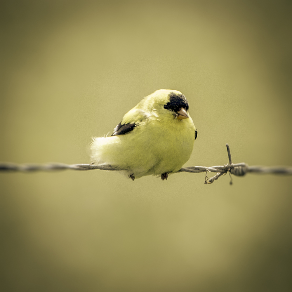 American Goldfinch (2015)