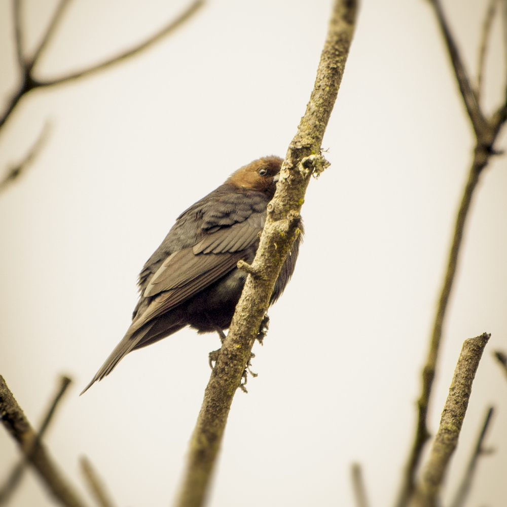 Brown-headed Cowbird (2015)