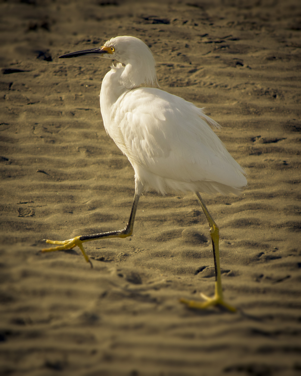 Snowy Egret (2015)