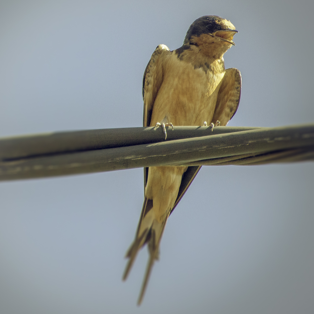 Barn Swallow (Fort Mason, San Francisco)