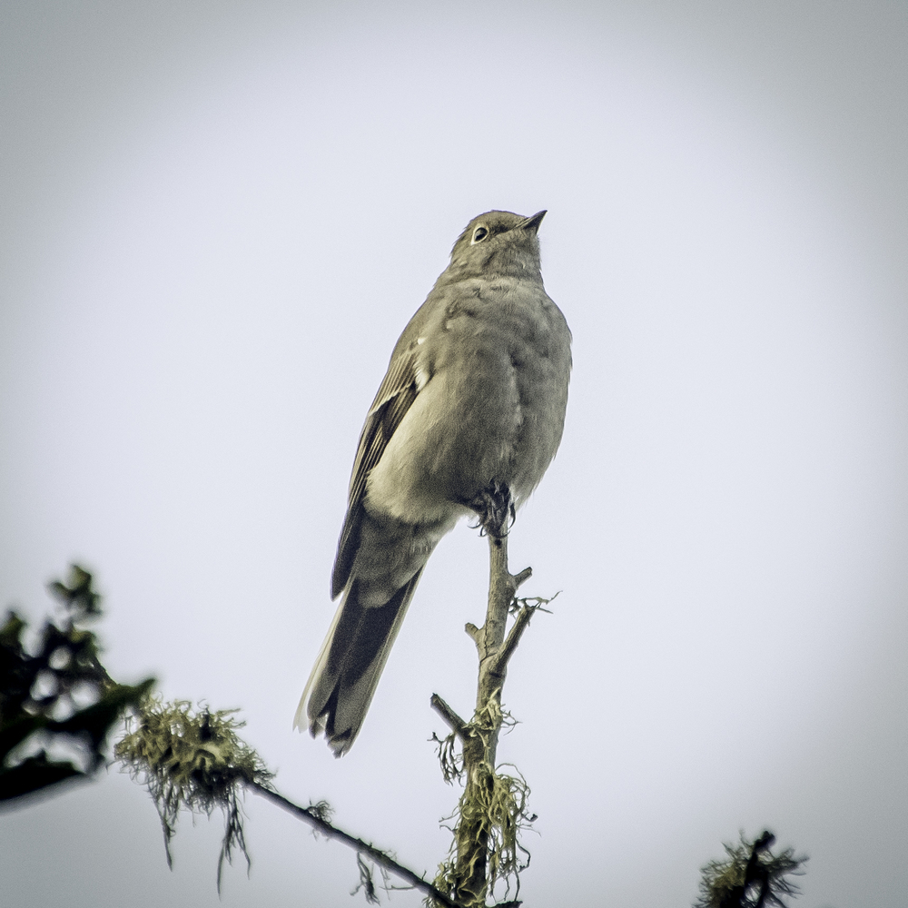Townsend's Solitaire (Presidio, San Francisco)