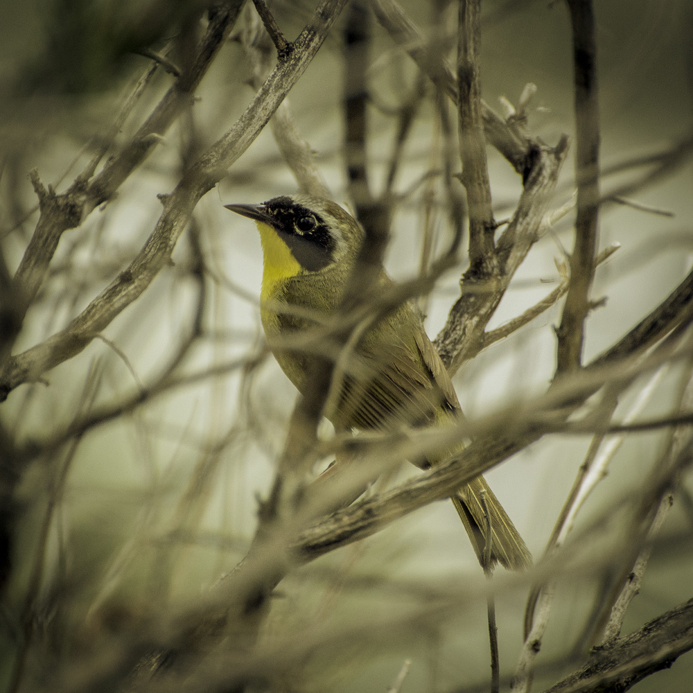 Common Yellowthroat (Hammonassett, Connecticut)