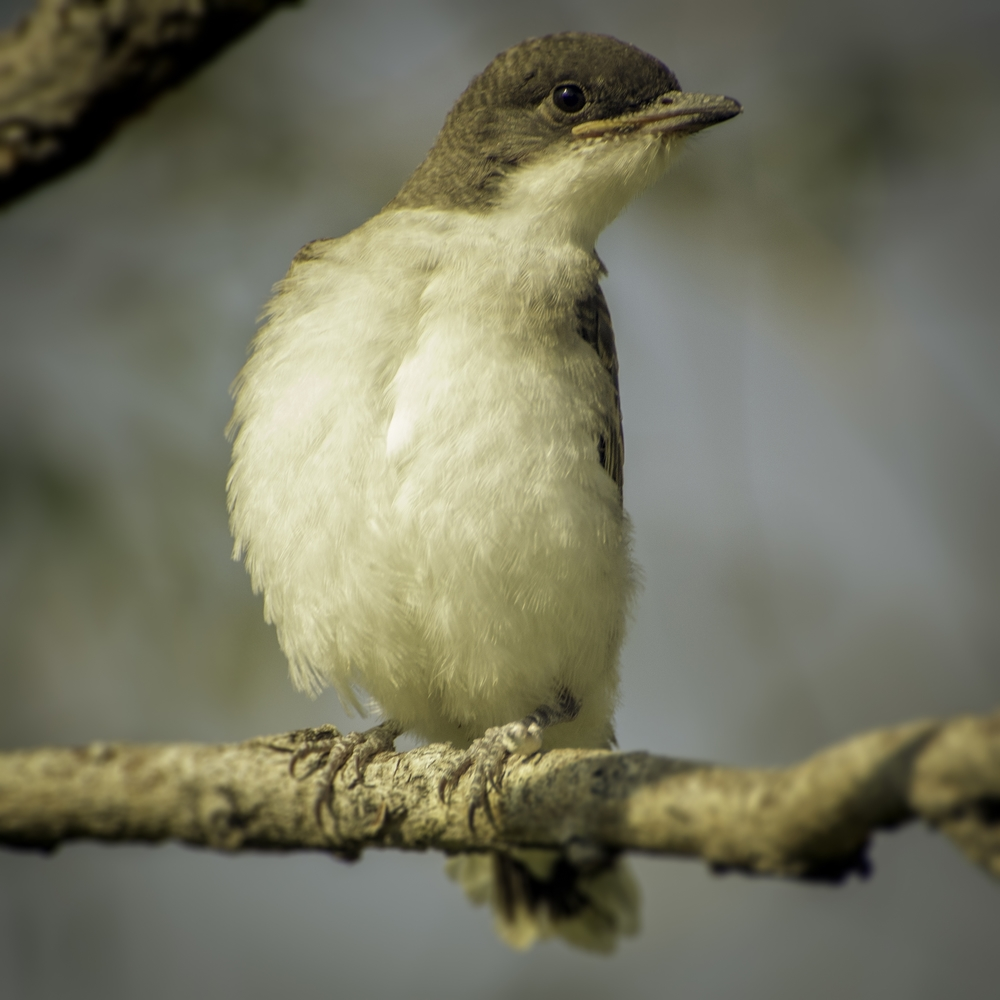 Fledgling Easter Kingbird (Helena Valley, Montana)