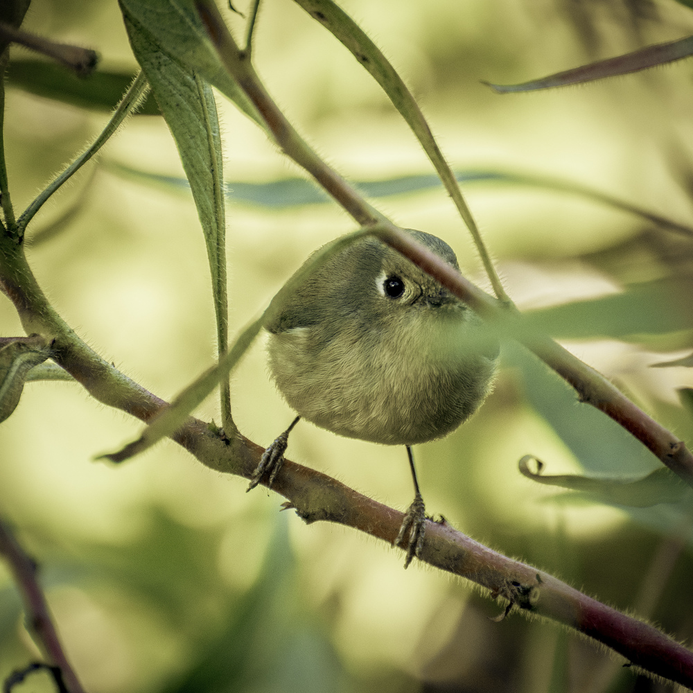 Ruby-crowned Kinglet (Golden Gate Park, San Francisco)