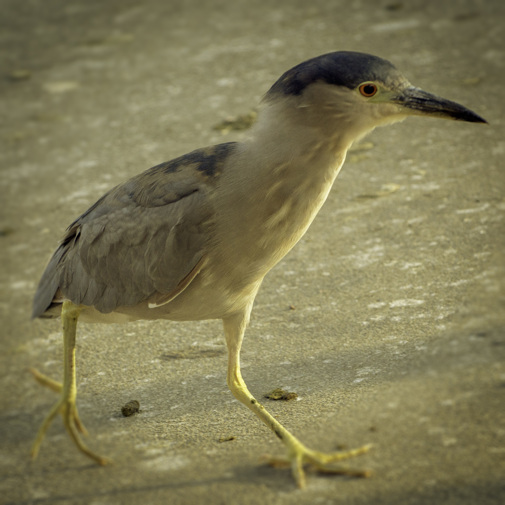 Black-crowned Night Heron (Lake Merritt, Oakland, California)