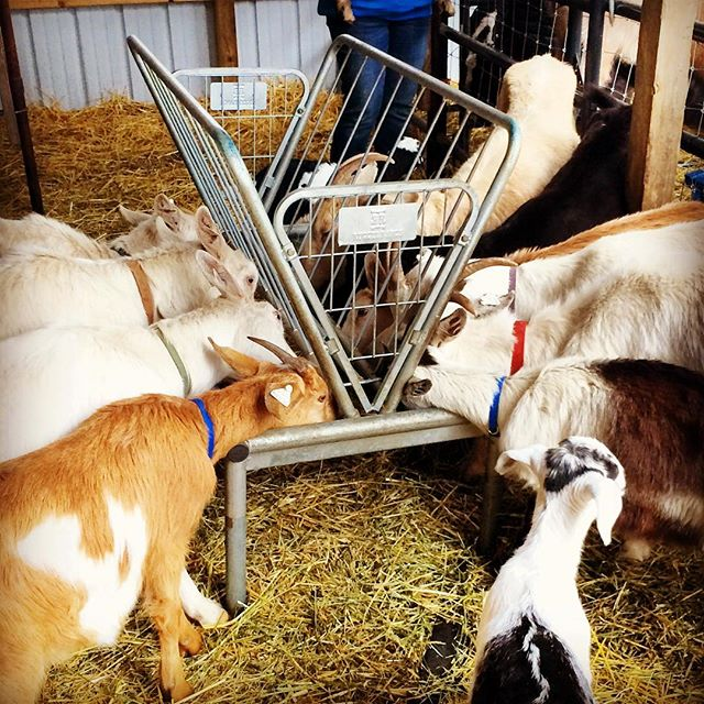 Feeding time! After 2.5 days on the road, 16 Scapegoats goats  and 3 baby goats spent their first weekend at their new home in Michigan with City Girl Soaps. The adults will be goatscaping in April and the babies will be doing goat yoga! Special thanks to the Martha's Vineyard Agricultural Society, @wapatequafarm, Animal Health Care Associates, Jen and Nate, Betsy Burmeister (and all who donated through GoFundMe), @hannahirushing, @kimchiforbreakfast and countless others for all your help getting them here. Amazed by all the generosity and kindness. I couldn't have moved these goats alone! #goats #goat #Goatscaping #goatyoga #travelingherd #herd #travel #roadtrip #feed #feeding #goatsoap #detroit #michigan #citygirlsoaps #goatlife #farmlife #urbanfarming #herd #spring #monday #love #kindness #withalittlehelpfrommyfriends #newhome