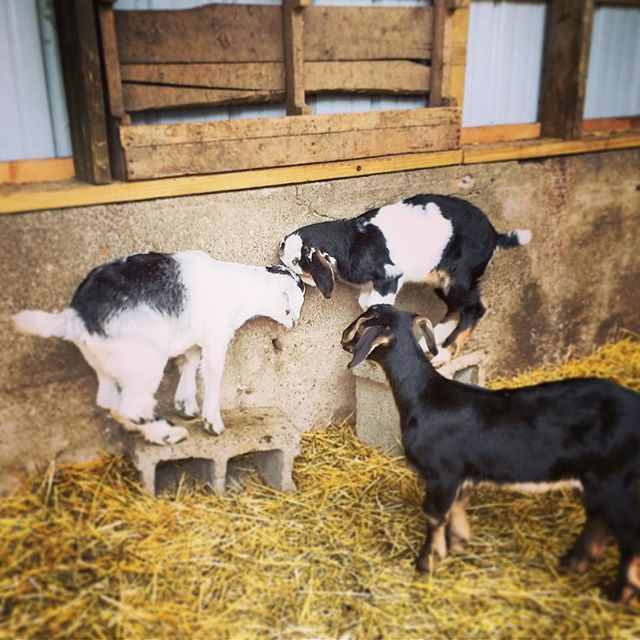 Missing Willa, Harper and Flannery this morning. They are going to have so much fun meeting people on their new goat yoga job!  #goatyogadetroit #goats #goat #babygoats #baby #kids #kidsatplay #goatlife #farmlife #detroit #detroitgoats #citygirlsoaps #playing #buttingheads #wednesday