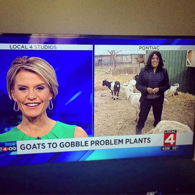 Less than a week in Michigan and the goats are in the news! #goats #goatscaping #localnews #tvstars #detroit #michigan #love #goatlife #farmlife #invasivespecies #invasiveplants #urbanfarming