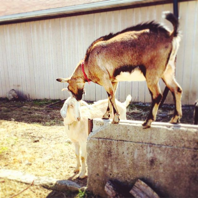 These girls are interacting for the first time!  #meeting #goats #goat #Goatscaping #herd #alpine #nubian #saanen #oberhasli #farmlife #goatlife #urbanfarming #womenwhofarm #detroit #citygirlsoaps #sunshine #saturday #springtime #gooutside #farmanimals #curiosity #doe #goatsofinstagram #goatworthy #grazing #michigan #playtime #pontiac #workinggoats #naturallandscaping