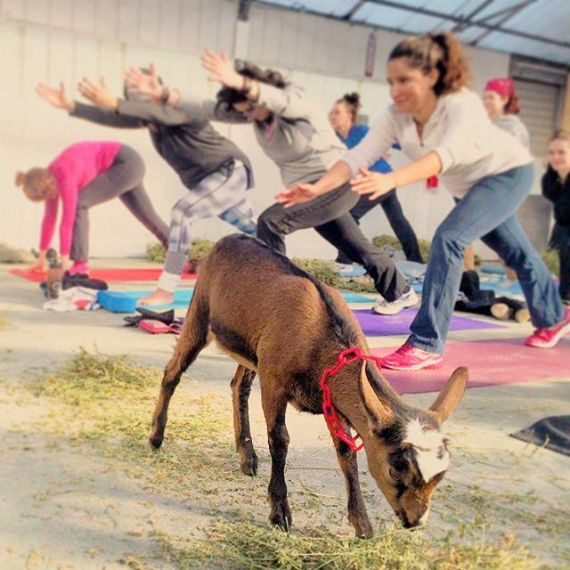 City Girl Soaps kicked off goat yoga and goatscaping today!!! So exciting for the goat yogis and their new yogi friends!  #yoga #goatyoga #citygirlsoaps #goats #goatstory #goat #yogi #yogisofinstagram #pontiacmichigan #detroit #michigan #love #babygoats #babies #springtime #getfit #active #activelife #activelifestyle #trysomethingnew #yogachallenge #yogagram #yogadaily #practice #fun