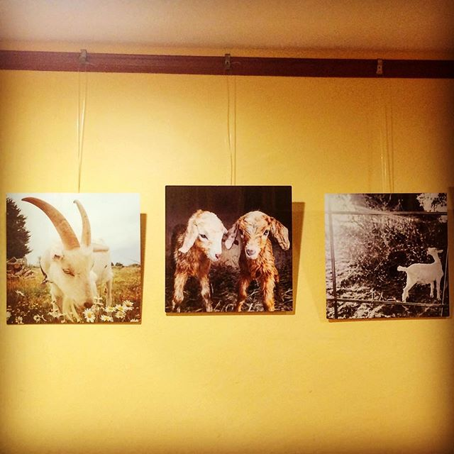 Photos on metal of Scapegoats goats, pigs and other animal friends on display @mochamotts in Oak Bluffs until July 31st! Get them before they leave the island! 🐐🐐🐐🐐 • • #goat #goatscaping #goatlife #goatlove #art #photography #artshow #buylocal #shoplocal #buyart #getagoat #goatfarm #oakbluffs #marthasvineyard #mvlifestyle #shopsmall #animals #decorate