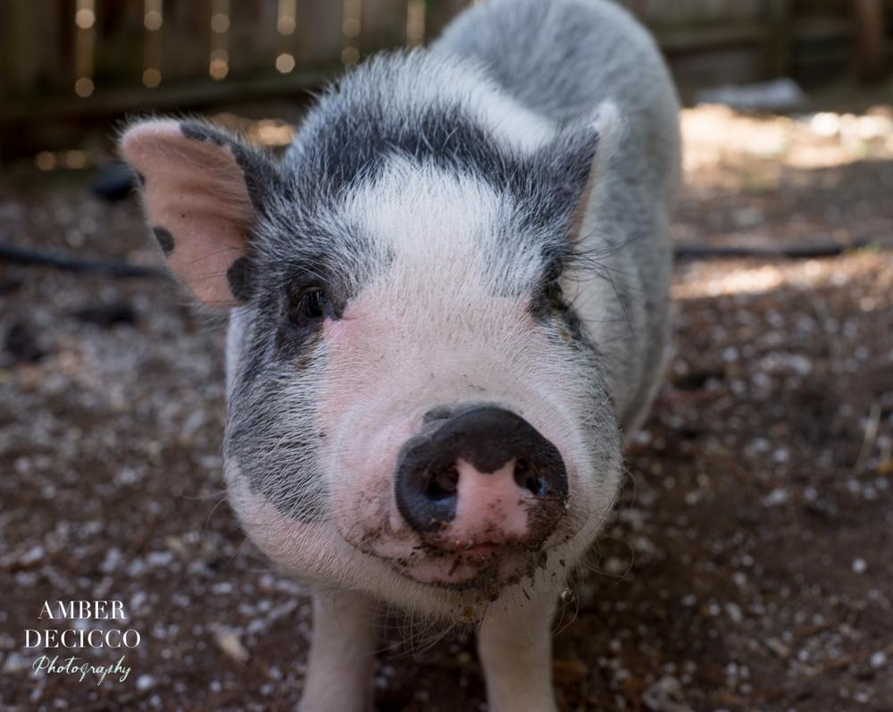 Samson the Pig