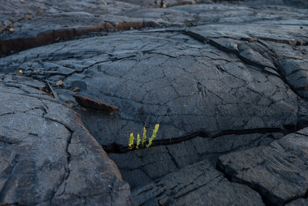 There are only TWO types of vegetation that can grow on lava, and this fern is one of them!