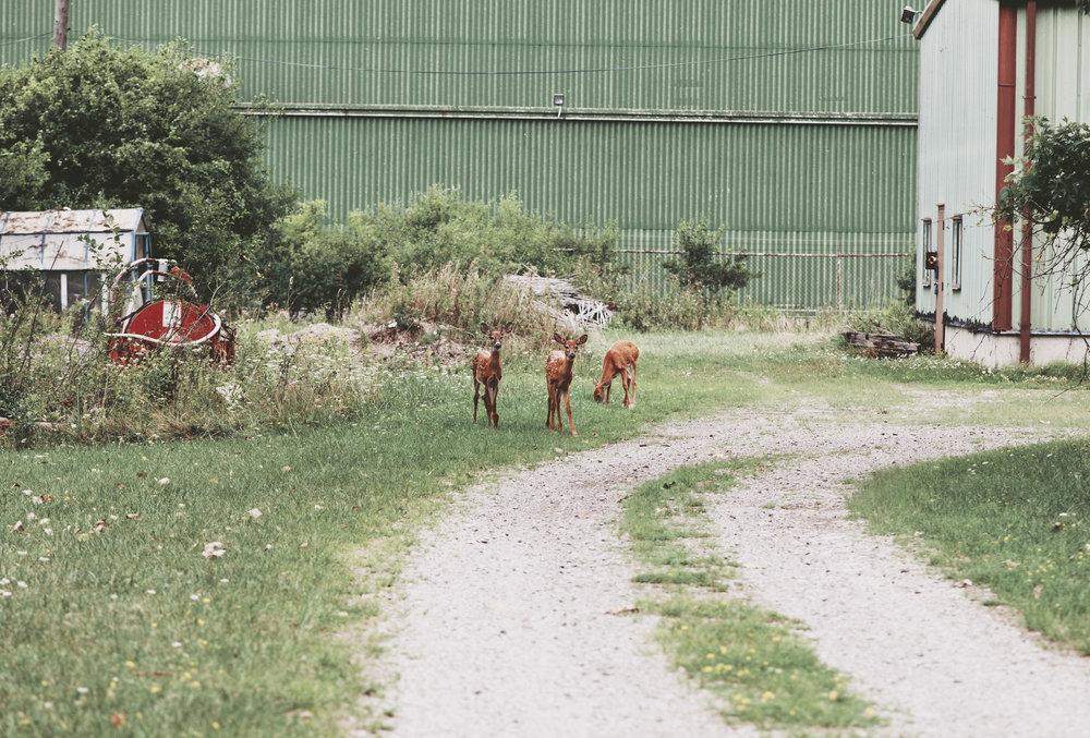 deer6r2.jpg
