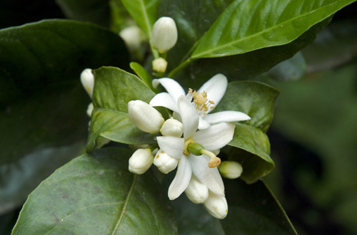 PHOTO COURTESY OF FRAGRANTICA A bitter orange flower, which the Japanese dry and mix with their tea.
