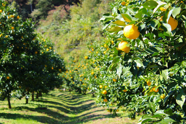 PHOTO COURTESY OF DANIELFOODDIARY.COM A yuzu farm in Kochi, Japan.