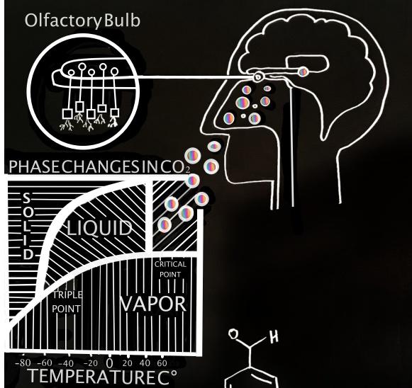 olfactory bulb.jpg
