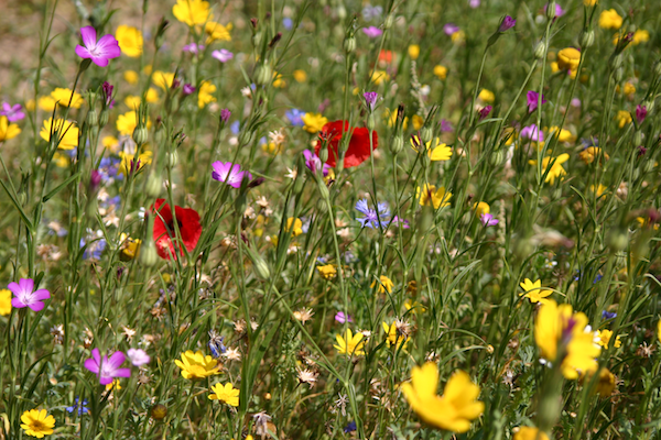wildflower meadow growing tips | the simple things