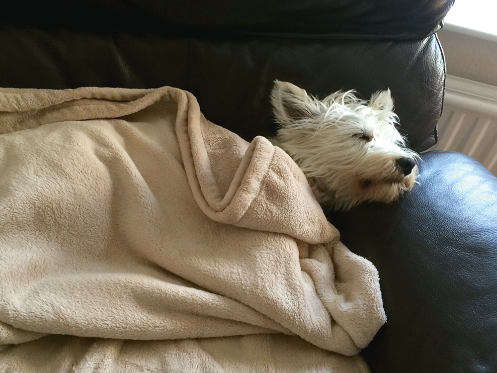 Dulcie, February 2015's star of Dogs in Blankets